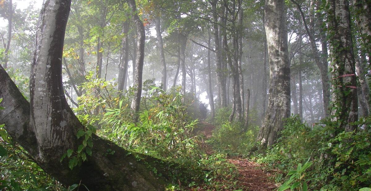 ブナ林の間を抜けるトレイル